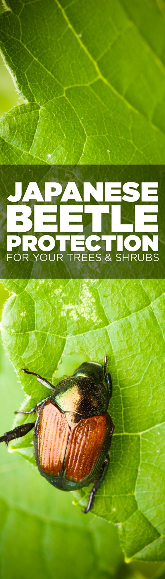 Great info on how to keep Japanese Beetles from ruining your garden! #Gardening