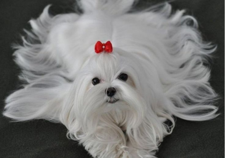 12 Raças de Cães Compactos ideais para Solteiros                                                                                                                                                                                 Mais