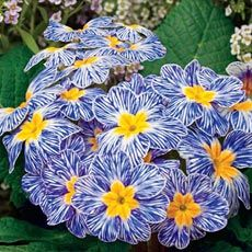 The colors of this Blue Zebra™ Primrose will make quite a showing in the garden during cooler seasons. via Audubon Workshop
