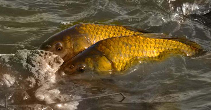 Crap. Cel mai râvnit pește din România. Peștele care ține concursurile din aproape toată lumea.