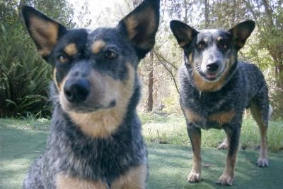 Australian Cattle Dog Information and Pictures - Blue Heeler
