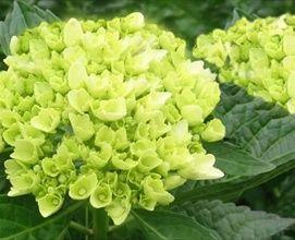 Mini Green - Hydrangea - Flowers and Fillers - Flowers by category | Sierra Flower Finder