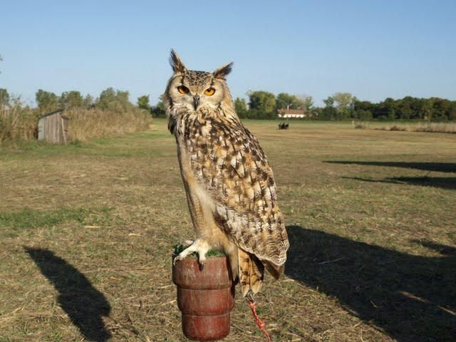 Eagle owl / Clickasnap