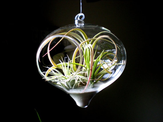 Hanging Air Plant Terrarium Tillandsia in Glass by Plantzilla, $35.00