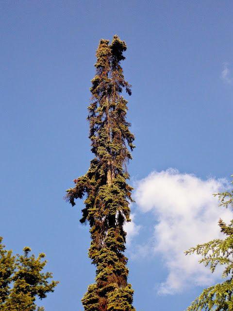 Bojnice Slovakia. Tall tree. Beautiful nature.