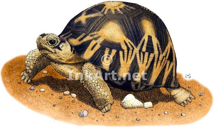 tortoise drawing for pinterest - photo #39