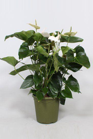 Anthurium andr. Sumi Ø26cm