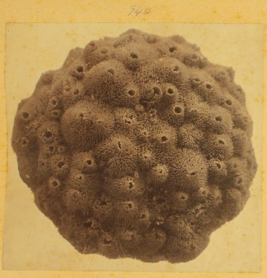 Sea Sponge. From photographic album of prints from negatives c1880s. Photographer:Henry Barnes Snr