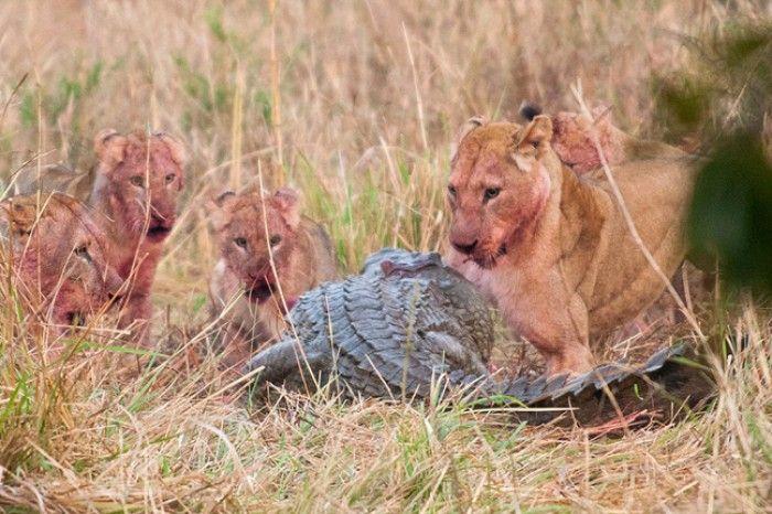 Zambiya'da çekilen bu görüntelerde aslan ailesi avladıkları antilobu yerken bir anda davetsiz bir misafirle karşılaştı. Yaklaşan timsah aslanların yemeğine ortak olmaya kalktı. Bu anda aslan ailesi ve timsahla amansız bir mücadele başladı. Sonunda aslanlar timsahı uzaklaştırmayı başardı.