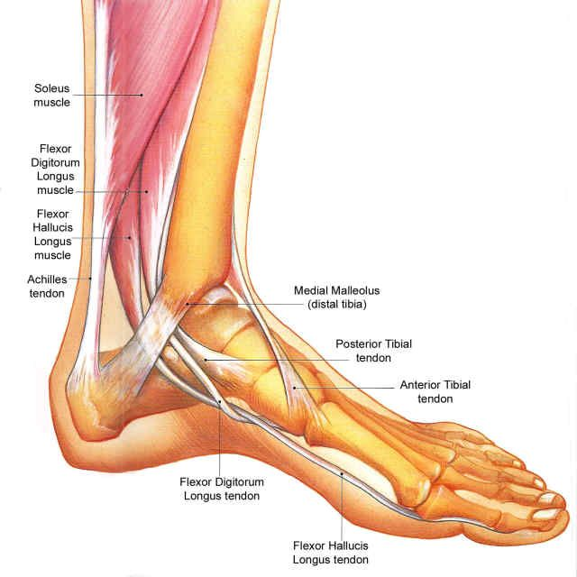 flexor hallucis longus tendon: