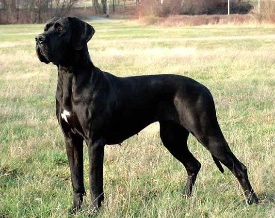 schwarze deutsche dogge   Deutsche Dogge,ein sanfter Riese.