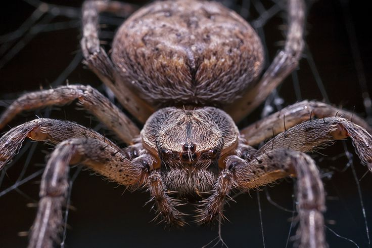 Common Garden Spider Macro