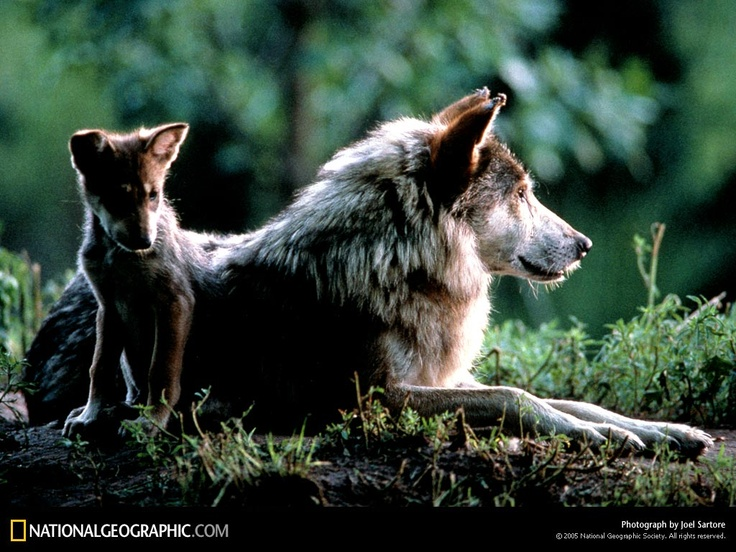 When Great Lakes wolves lost their Endangered Species Act protection earlier this year, livestock producers and other special interest groups -- dead set on using this change to kill wolves for sport -- pushed through laws authorizing sport hunting and trapping of Minnesota wolves. Now Minnesota's wolves urgently need your help.
