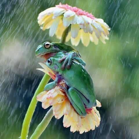 Frogs - Floral umbrella till the rain ends...❤