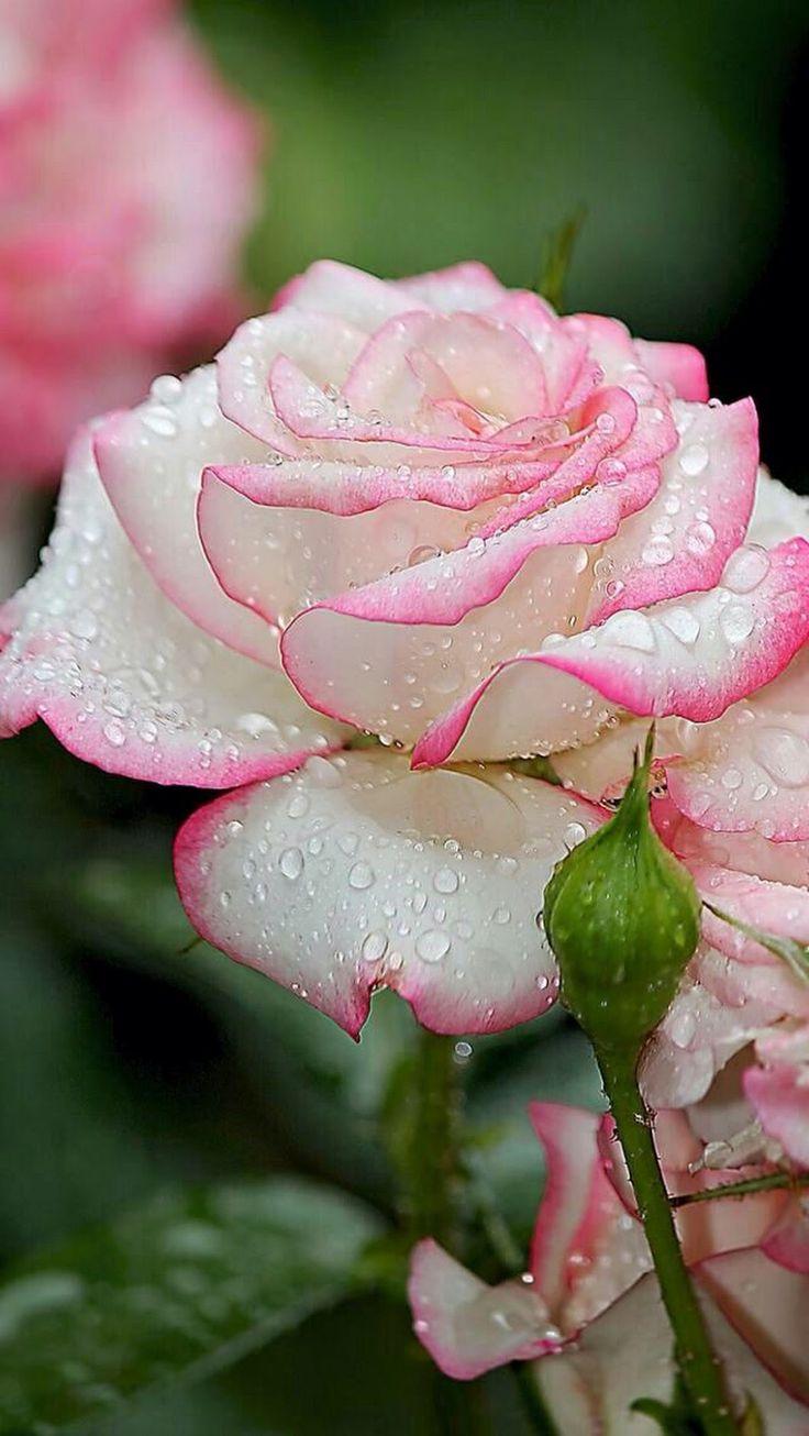 Billede rosen pinterest rose blumen und blumen pflanzen for Pflanzen blumen