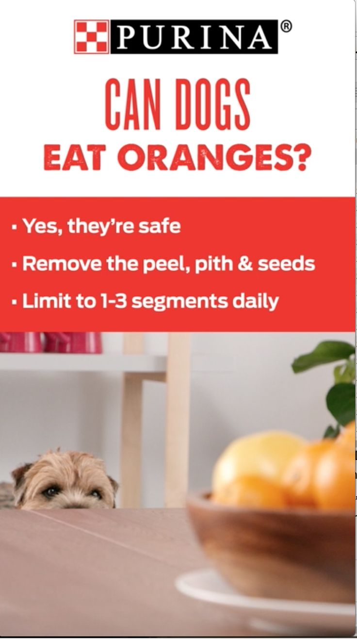 Are oranges healthy and safe for dogs? Yes. Dogs can have fleshy fruit parts of oranges because they aren't toxic, but just like other dog treats, fruit should be fed in moderation. Purina Nutritionist, Jan Dempsey gives insight on oranges and other popular spring foods. Fruits and berries for example, contain vitamins, fiber and antioxidants and tend to be low in sugar, so when fed properly, they are healthy for pets and refreshing! Discover more information on Purina.com.