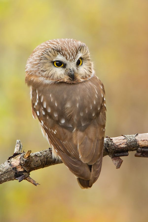 Northern Saw-whet Owl by Daniel Cadieux