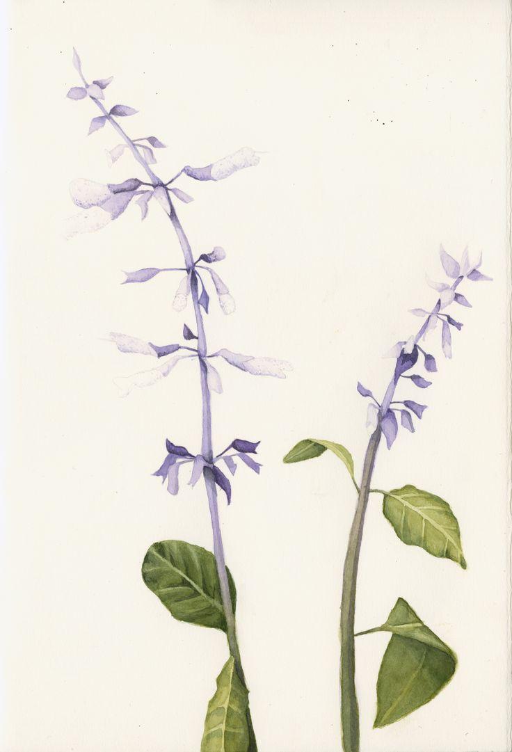 Salvia divinorum. Watercolor natural history painting.