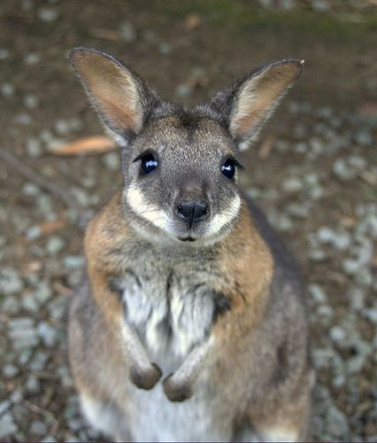 Baby Kangaroo - 38 Cute Baby Animals | dieren | Pinterest ...
