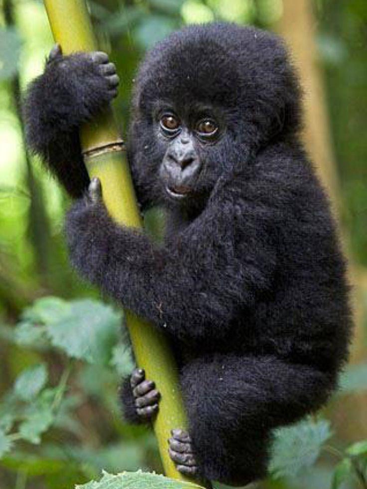 Bàbà gorille <3 <3
