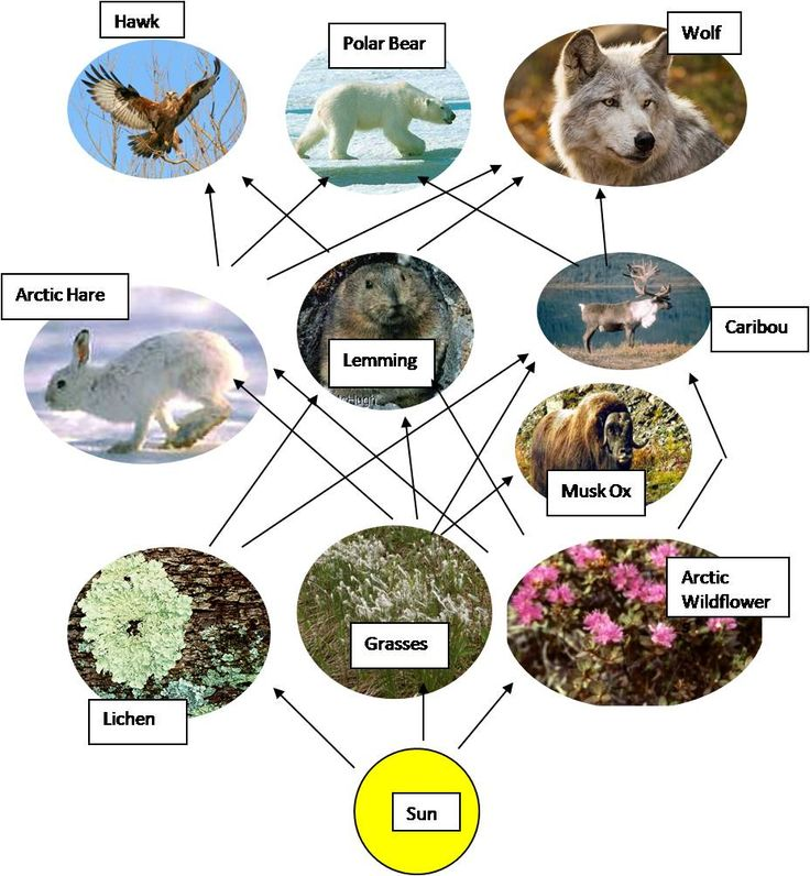 The Arctic :: Interactive Food Web Ecology! Touch this image.