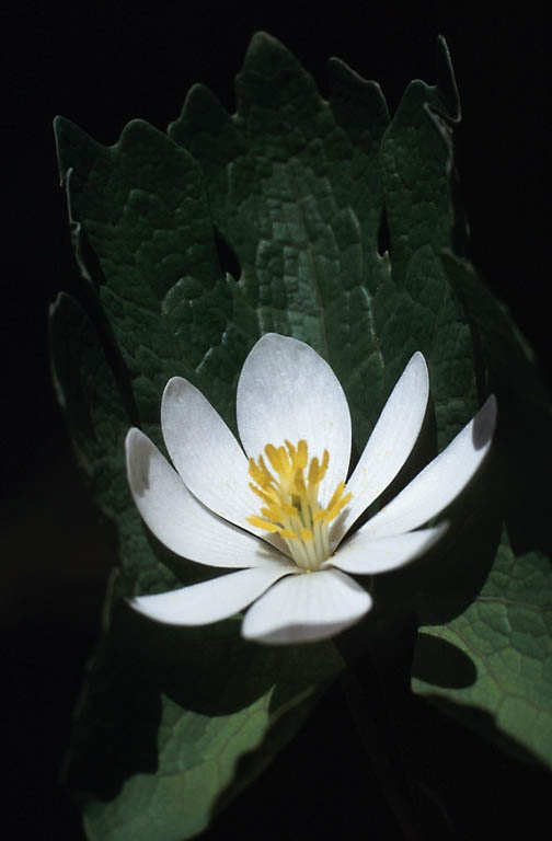 Perfect Balance Black Salve and Bloodroot Tablets: Water, Lotus, Waterlily, Nymphaea, Lily, Cancer Survivors, Water Lily, Lotus Flower, Flower