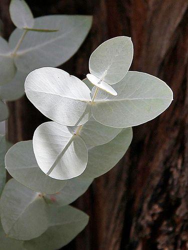 Eucalyptus cinerea - Silver Gum
