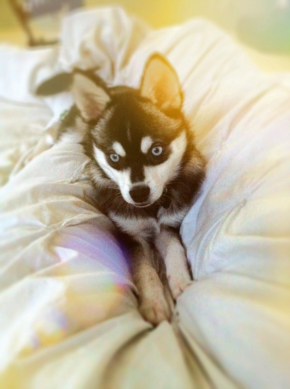 Unfortunately our new alarm clock doesn't come with a snooze button.: Alarm Clock, Random, Beautiful Eyes, Baby Husky, Husky Someday, Blue Eyes, Clock Doesn T, Lovelovelove