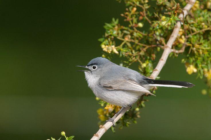 Blue-gray Gnatcatcher   Audubon Field Guide