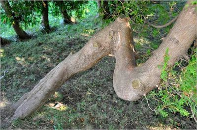 A tree deformed...