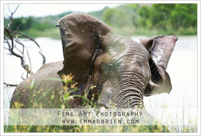 Elephant playing in the water, Pilanesberg National Park. http://emmaobrien.com