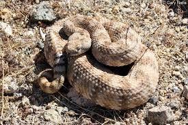 Image result for rattle snake
