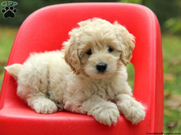 Cookie, Cockapoo puppy for sale from Morgantown, PA