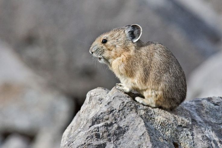 American pikas, a pint-sized rabbit relative, are quickly losing their California mountain habitat to climate change, according to new research.