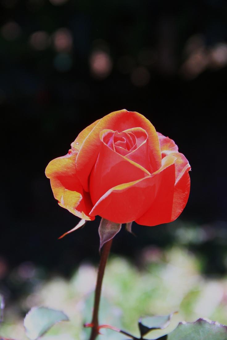 A lovely rose I captured in the botanic garden in Kandy/Sri Lanka