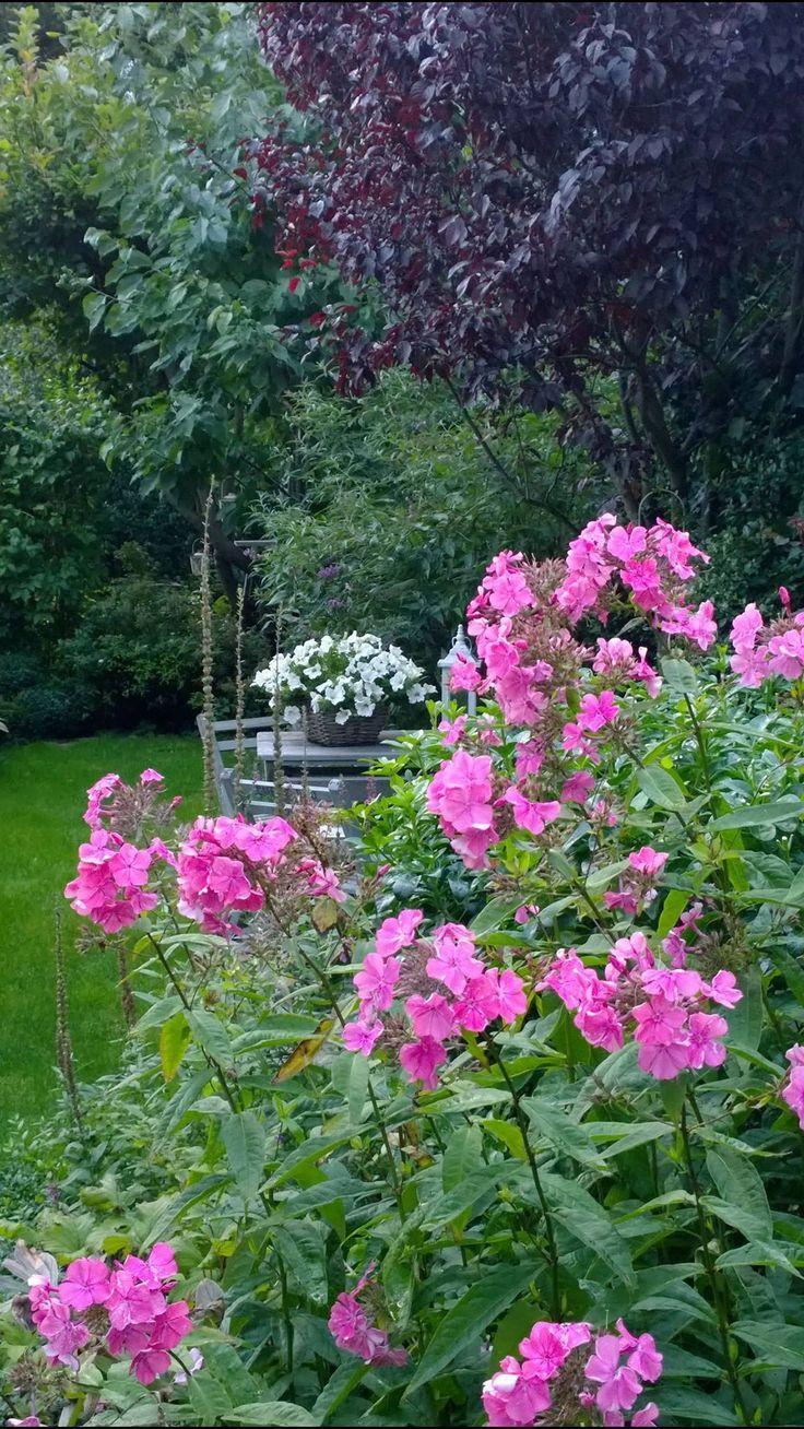 Pink Phlox in full bloom