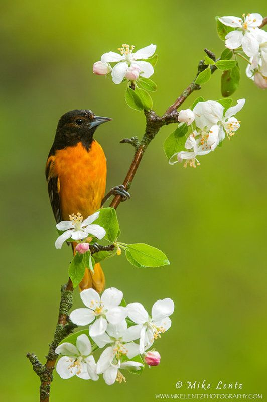 """500px / Photo """"Baltimore Oriole on flowering crabapple tree"""" by Mike Lentz"""