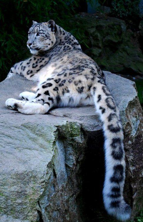 Enormous snow leopard tail.