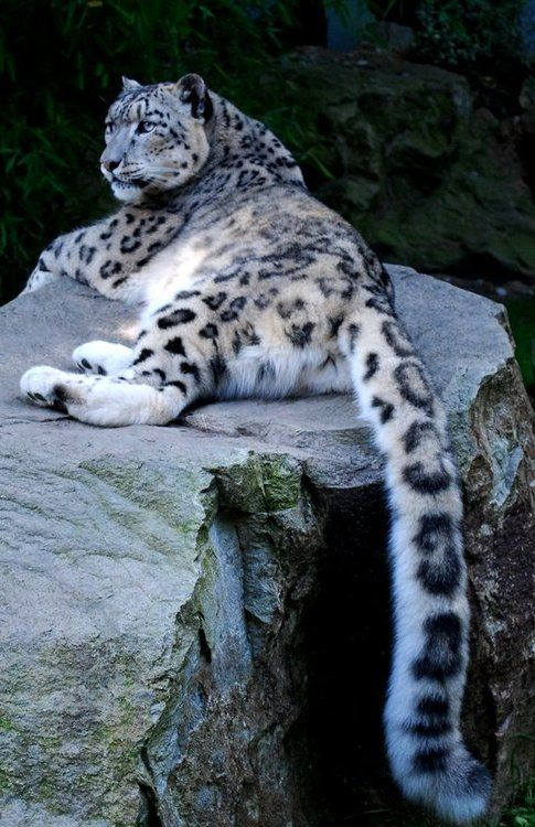 Look at that tail.: Wildcats, Animals, Big Cats, Snow Leopards, Bigcats, Beautiful, Wildlife, Frrrantic, Wild Cats