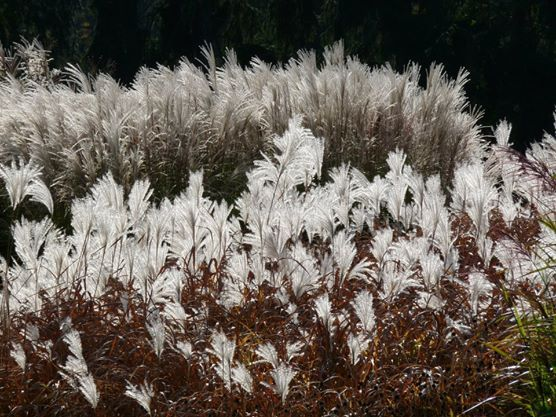 Průhonice, Ornamental Grass, October 2012