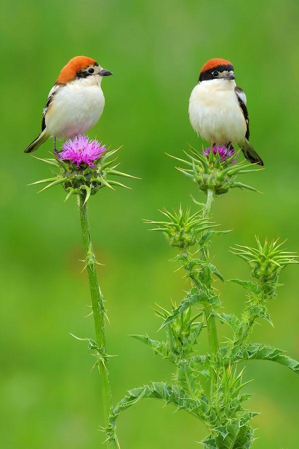 Woodchat Shrike male & female sitting on thistles.