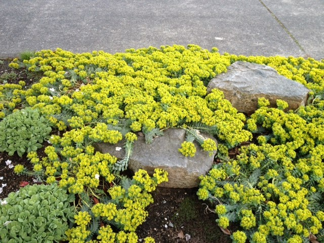 Amazing groundcover parking strip.  Seattle.Front Yards Gardens, Parks Strips Gardens, Design Ideas, Amazing Groundcover, East Property, Curb Appeal, Gardens Art, Gardens Design, Patios Backyards Pl Ect