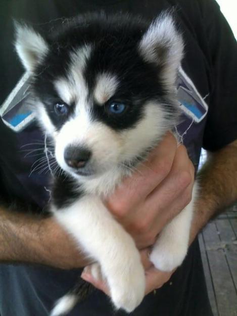 Miniature Siberian Husky Puppies!!!
