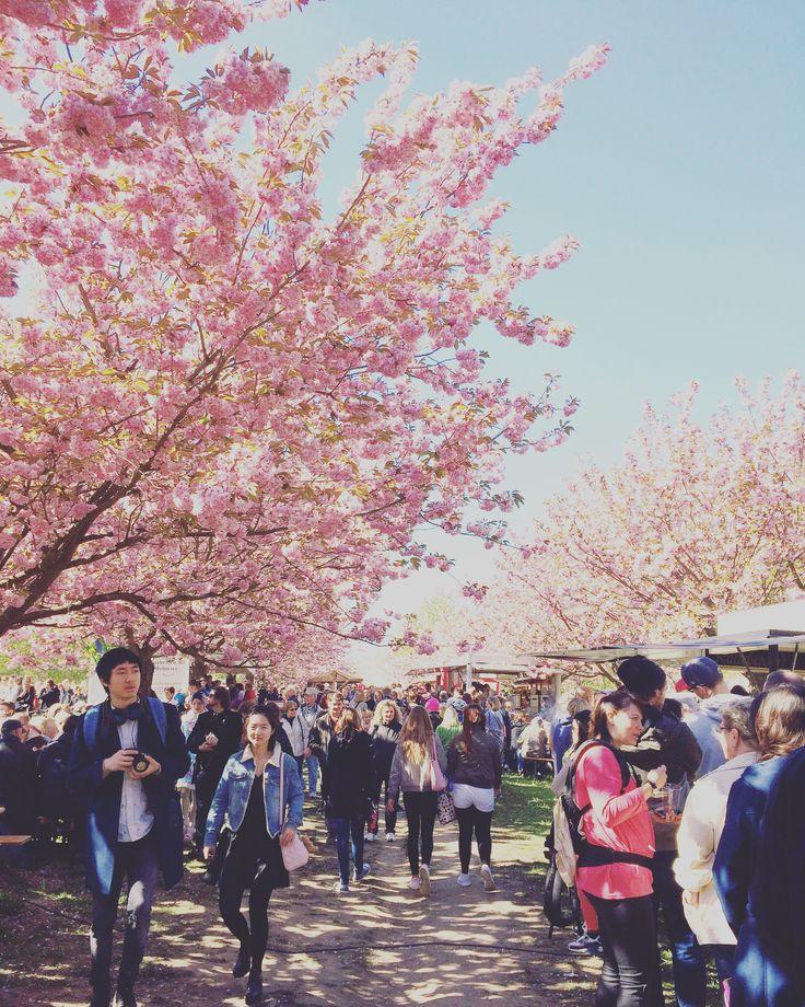 Japanisches Kirschblütenfest in Teltow