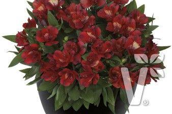 402010 Alstroemeria x hybrida Inticancha® Doba