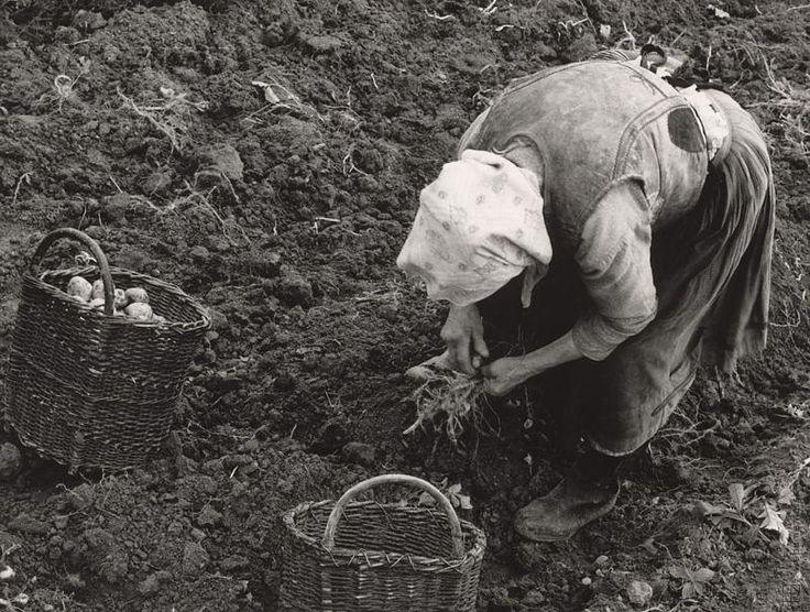 Martin Martinček: Zbieranie zemiakov IV.:1960 - 1968