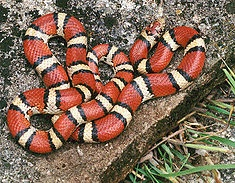 "The Milk Snake (a species of king snake) like this Red Milk Snake appear to be very similar to the Coral Snake. This apparently is an attempt to look like a dangerous snake, even though harmless themselves. ""Red to yellow, kill a fellow. Red to black, venom lack.""  The Eastern Milk Snake doesn't resemble a coral snake but instead copies the coloration of the Massassauga Rattlesnake. And juvenile ones are often mistaken for Copperheads."