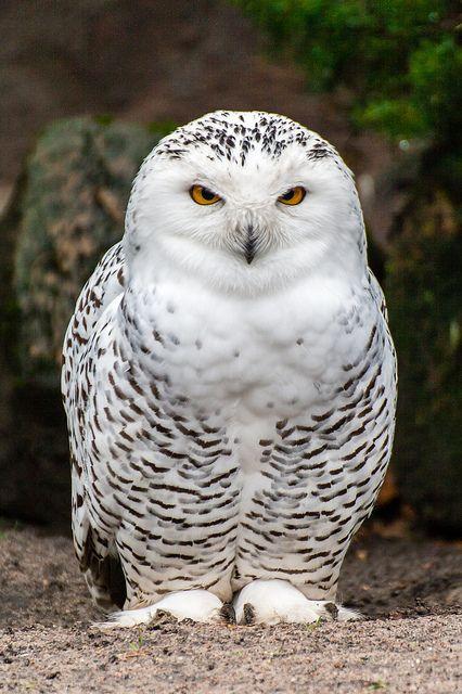 SNOWY OWL (SNEEUWUIL)❤️