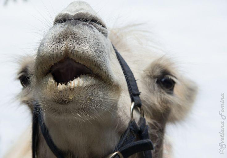 camel by fominasveta
