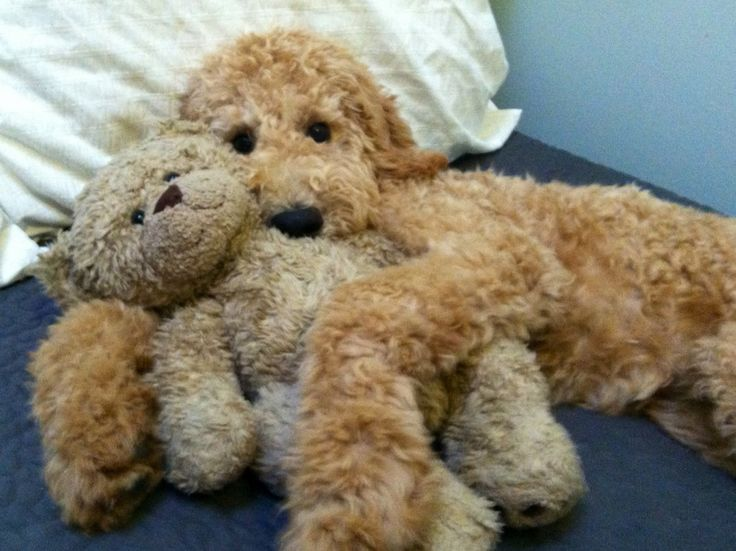 Poodles that look like Doodles - Page 4 - Poodle Forum - Standard ...